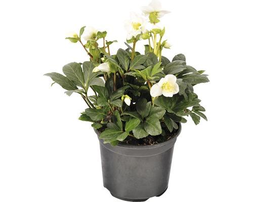 Hellébore FloraSelf Helleborus niger ''Christmas Carol'' pot Ø 17 cm