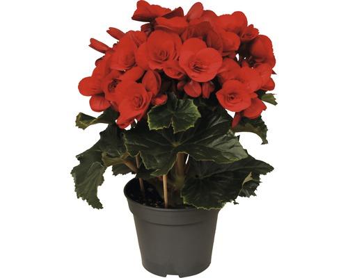 Bégonia Elatior FloraSelf Begonia elatior ''Baladin'' H 20-25cm pot de 14cm de Ø