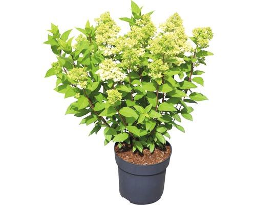 Hortensia paniculé Hydrangea paniculata Magical Candle® H 50-60 cm Co 5 L