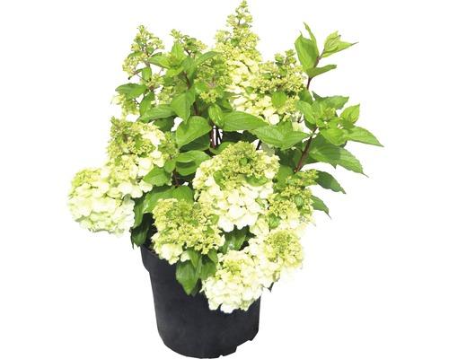 Hortensia paniculé Hydrangea paniculata Magical Mont Blanc® H 50-60 cm Co 5 L