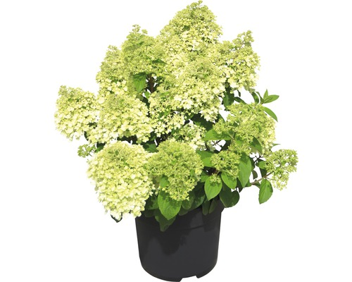 Hortensia paniculé Hydrangea paniculata Bobo® H 40-50 cm Co 5 L