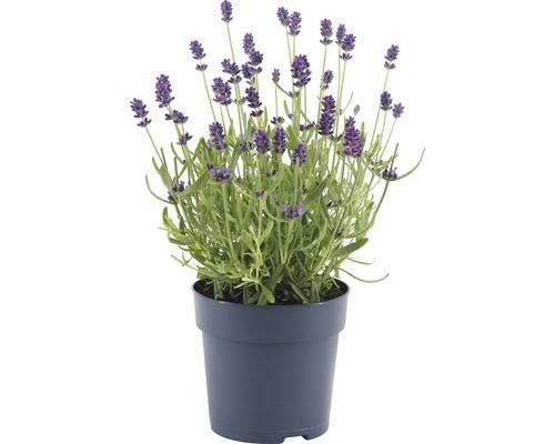 Lavande FloraSelf Lavandula angustifolia ''Felice'' H 15-20 cm Co 0,75 L (10 pièces)