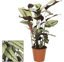 FloraSelf Calathea ornata pot de 19 cm-thumb-0