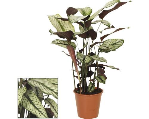 FloraSelf Calathea ornata pot de 19 cm-0