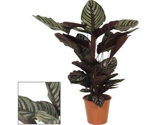 Calathea ornata H 80-90cm