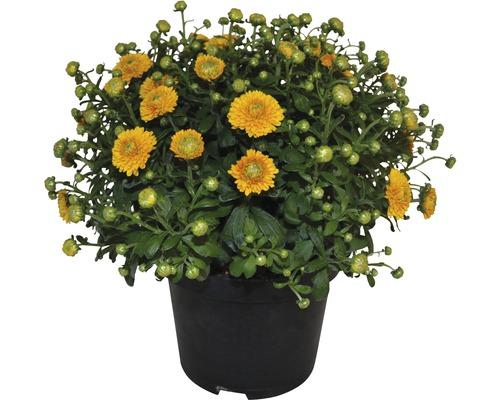 Chrysanthème FloraSelf Chrysanthemum indicum h 30-40cm pot de 17cm de Øassorti