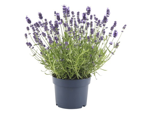 Lavande FloraSelf Lavandula angustifolia ''Felice'' H 20-30 cm pot Ø 17 cm