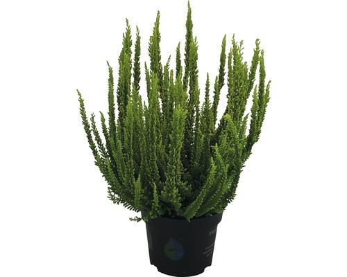 Bruyère commune, callune FloraSelf Calluna vulgaris ''Skyline'' pot Ø 13 cm