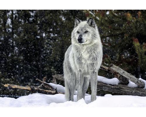 Panneau décoratif Gray Wolf 61x91 cm