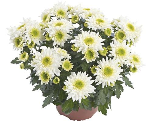 Chrysanthème FloraSelf Chrysanthemum indicum ''Picnic'' pot Ø12cm