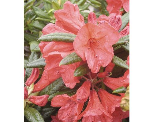 Rhododendron à grosses fleurs FloraSelf Rhododendron Hybride ''Elizabeth'' H 30-40 cm Co 6 L
