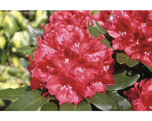 Rhododendron à grosses fleurs FloraSelf Rhododendron hybride ''Cherry Kiss'' ® H 30-40 cm Co 6 L