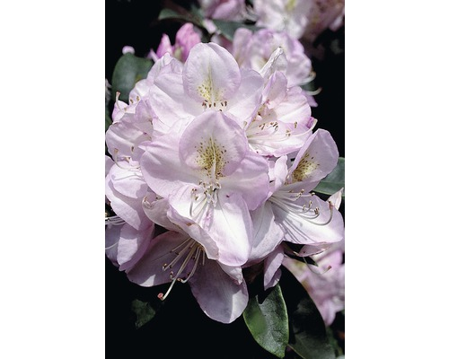 Rhododendron à grosses fleurs FloraSelf Rhododendron hybride ''Gomer Waterer'' H 30-40cm Co 6L