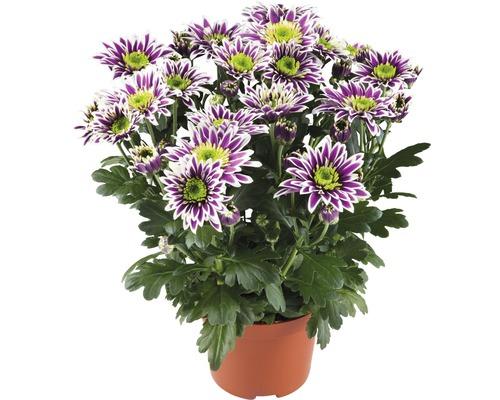 Chrysanthème FloraSelf Chrysanthemum indicum ''Saba'' pot Ø 12 cm