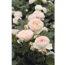 Rosier pour parterres Rosen Tantau Rose x Hybride «Pastella» racines emballées-thumb-0