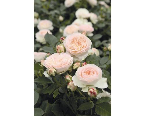 Rosier pour parterres Rosen Tantau Rose x Hybride «Pastella» racines emballées-0