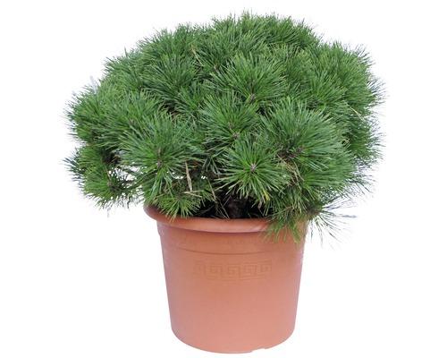 Pin noir Pinus nigra ''Pierrick Bregeon'' h 30-40 cm Co 15 L