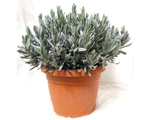 Lavendel FloraSelf Lavandula angustifolia Ø 25 cm Topf