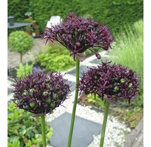 Bulbes FloraSelf ail d''ornement Allium Atropurpereum 5pces-thumb-1