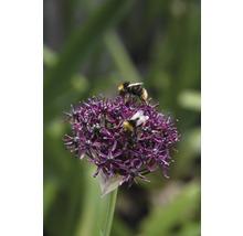 Bulbes FloraSelf ail d''ornement Allium Atropurpereum 5pces-thumb-2