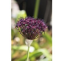 Bulbes FloraSelf ail d''ornement Allium Atropurpereum 5pces-thumb-3