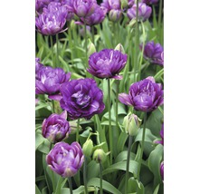 Bulbes de tulipes Unique Blue Wow, 10 pièces-thumb-1