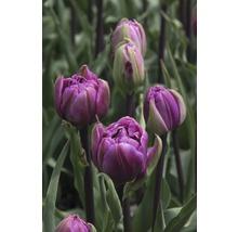 Bulbes de tulipes Unique Blue Wow, 10 pièces-thumb-2