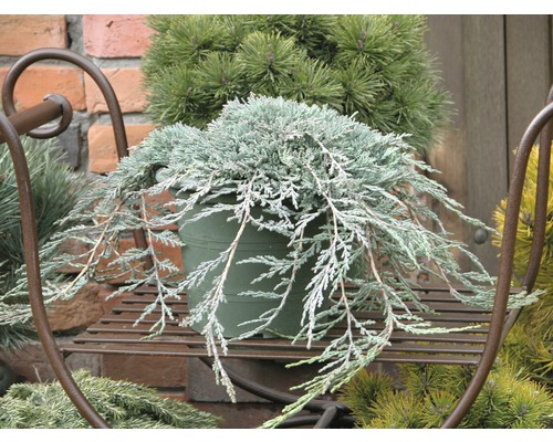 Genévrier rampant bleu Juniperus horizontalis Icee Blue H 30-40 cm Co 3,7 L