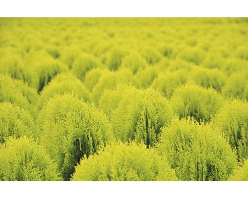 Thuja jaune Thuja orientalis Aurea Nana H 30-40 cm Co 3,7 L
