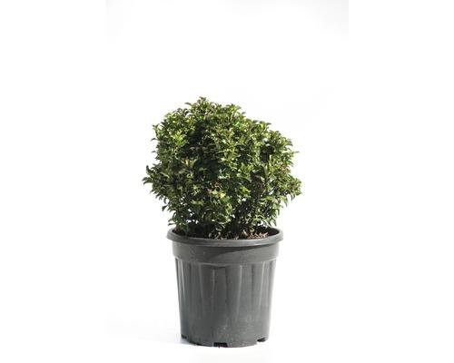 Houx boule FloraSelf Ilex meserveae ''Little Rascal'' H 20-25 cm Co 9 l