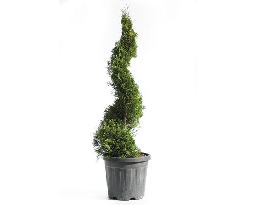 Thuya occidental spirale FloraSelf Thuja occidentalis ''Smaragd'' H 60-80cm Co 10l