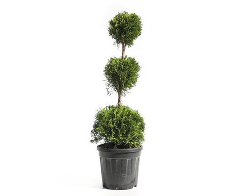 Thuya occidental 3 boules FloraSelf Thuja occidentalis ''Smaragd'' H 60-80cm Co 10l