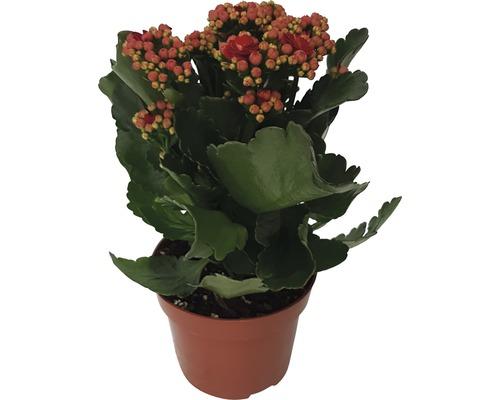 Kalanchoé de Blossfeld Kalanchoe blossfeldiana ''Calandiva'' H 20-25cm pot Ø 12cm rouge