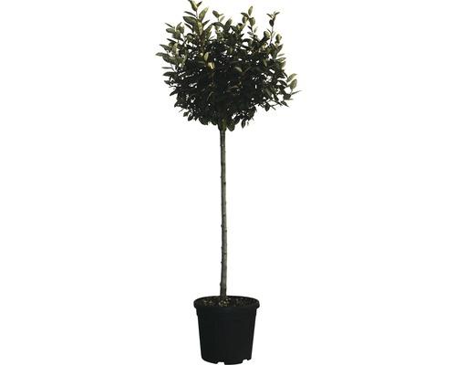 Ölweide Stämmchen FloraSelf Elaeagnus ebbingei H 100-120 cm Co 18 L