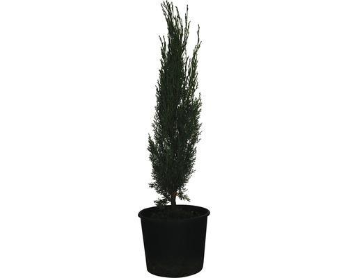 Mittelmeer-Zypresse ''Totem'' FloraSelf Cupressus sempervirens ''Totem'' H 60-70cm Co 3 L