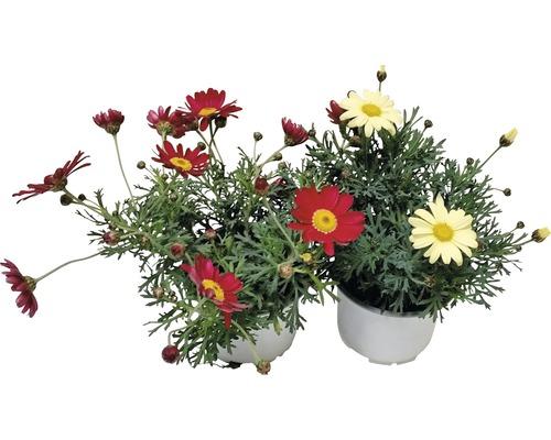 Chrysanthème frutescent FloraSelf Chrysanthemum frutescens pot Ø 10 cm