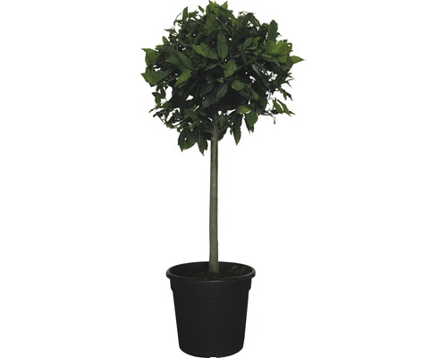 Echter Lorbeer Stämmchen FloraSelf Laurus nobilis H 60-80 cm Co 18 L