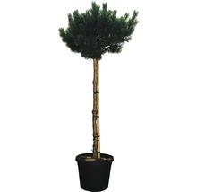 Arbuste pin sylvestre FloraSelf Pinus sylvestris ''Warereri Nana'' env. H 150 cm Co 35 L-thumb-0