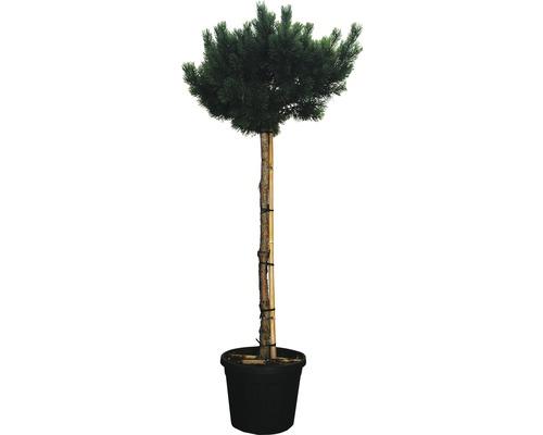Arbuste pin sylvestre FloraSelf Pinus sylvestris ''Warereri Nana'' env. H 150 cm Co 35 L-0