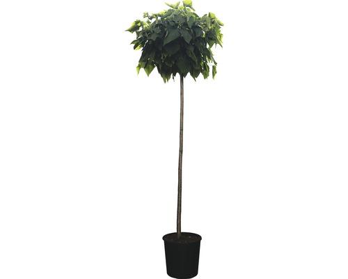 Kugel Trompetenbaum FloraSelf Catalpa bignonoides ''Nana'' H 160-170 cm Co 18 L