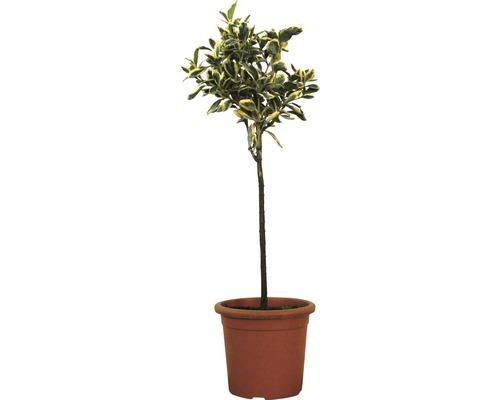 Spindelstrauch Stämmchen FloraSelf Euonymus japonicus ''Bravo'' H 50 cm Co 5 L