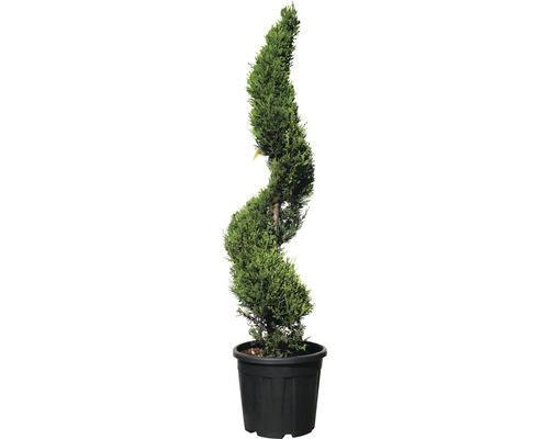 Formgehölz Gelbe Leyland-Zypresse Spirale FloraSelf Cupressocyparis leylandii ''Castlewellan Gold'' H 100-130 cm Co 18 L