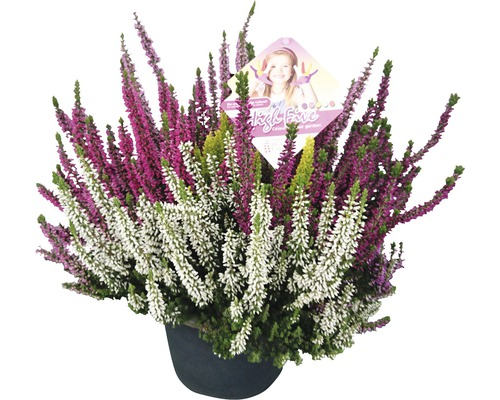 Bruyère commune, callune FloraSelf Calluna vulgaris ''Beauty Ladies High Five'' pot Ø 17 cm