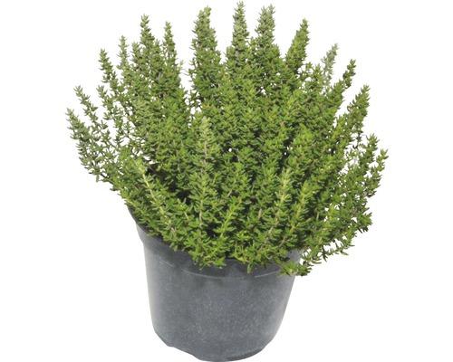 Thym FloraSelf Thymus vulgaris ''Faustino'' H 10-13 cm Co 1,2 L