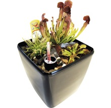 Plantes carnivores FloraSelf H25-30 cm 20x17 cm pot-thumb-0