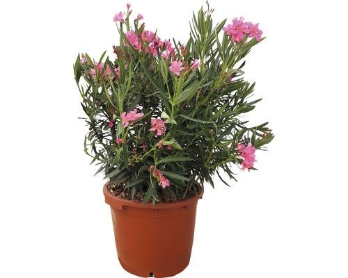 Laurier-rose FloraSelf Nerium oleander H70-80cm pot Ø30cm