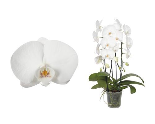 Orchidée papillon FloraSelf Phalaenopsis Hybride H 55-70cm pot Ø 12cm