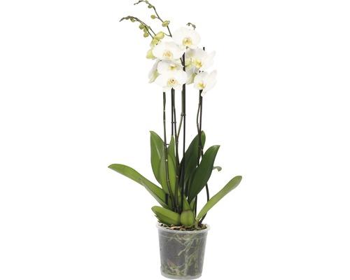 Orchidée papillon FloraSelf Phalaenopsis Hybride H 70-80cm pot Ø 17cm 4 panicules blanc
