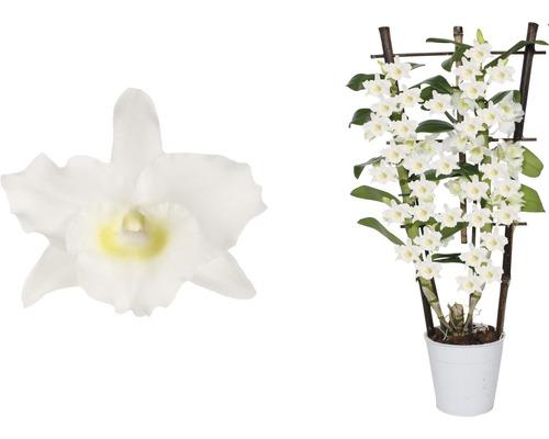 Dendrobium en espalier FloraSelf h 55-70 cm pot Ø 12 cm