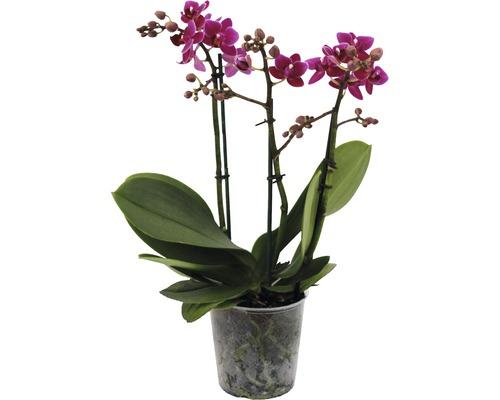 Orchidée papillon FloraSelf Phalaenopsis Hybride H 45-55cm pot Ø 12cm 3 panicules